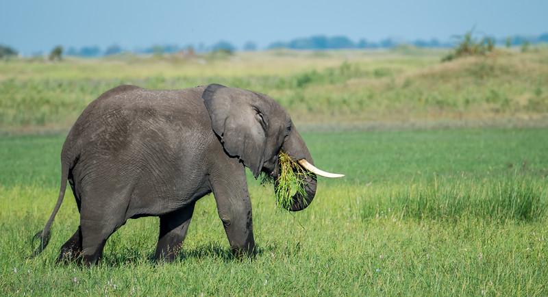 Grazing On Lush Okavango Grass