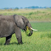 Grazing On Lush Okavango Grass