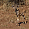 A young female Kudu looks at me as she discovers humans, perhaps for the first time. Near Kasane, botswana