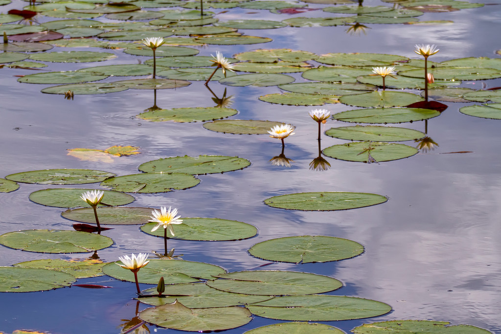 Lilypads and flowers in botswana