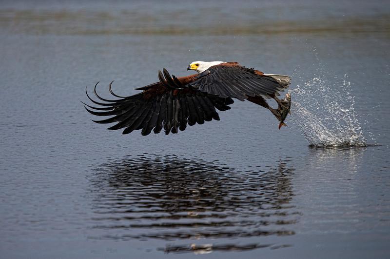 African Fish Eagle - Okavango Delta- Botswana, Africa