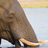 Elephant drinking in the Chobe river