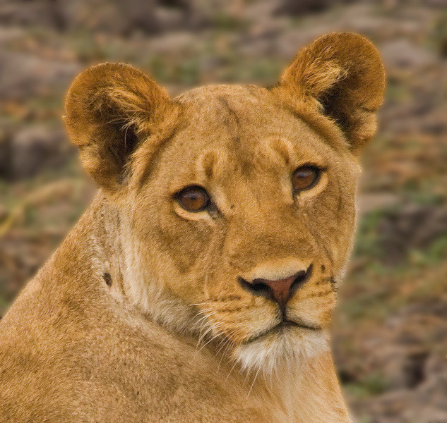 Female Lion - Chobe River, Botswana