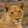 Female Lion - Chobe River, Botswana