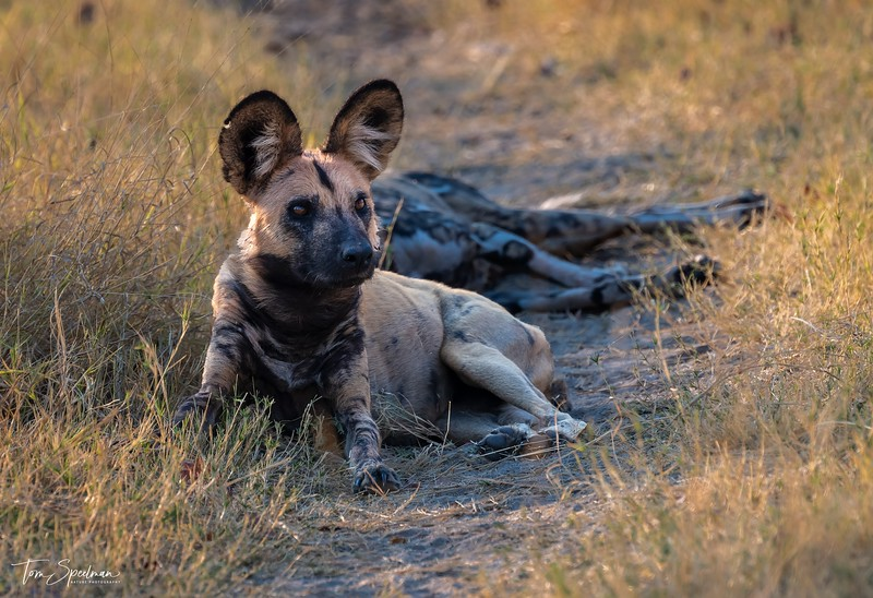 African Wild Dog Relaxing