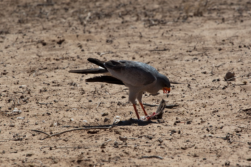 Dark Chanting Goshawk - Chobe, Botswana<br /> The Dark Chanting Goshawk (Melierax metabates) is a bird of prey in the family Accipitridae. Dark Chanting Goshawk is a large, long-tailed, broad-winged hawk, with a 105 cm wingspan. It is slate-grey above and white with fine barring below. The tail is black and white. In flight, the wings are grey with black tips. The flight is stiff and mechanical. This species derives its name from the breeding season song, which consists of chanted flutes and whistles.