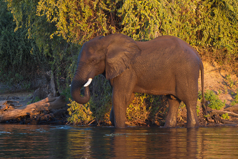 A young male Elephant drinks, taken at sunset on the banks of the Chobe river in Botswana.