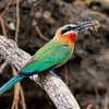 African White Fronted Bee Eater