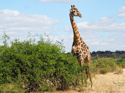 Giraffe in Chobe National Park