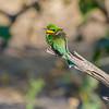 Little Bee-eater:  Chobe Riverfront, Chobe National Park, Botswana