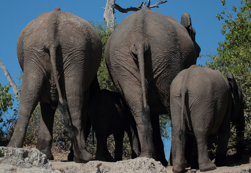 Elephants in Chobe say goodbye to us in their own special way