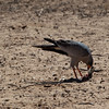 Dark Chanting Goshawk with capture - Chobe, Botswana