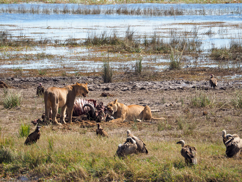Lions eating a kill in Chobe National Park