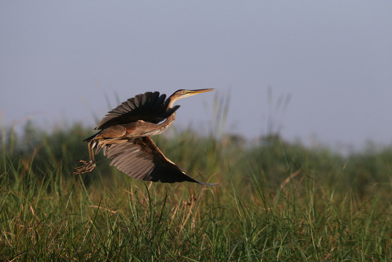 A Goliath Heron (Ardea goliath) takes flight from the tall grass lining the Okavango River. This is the world's largest heron. The height is 120–152 cm (47–60 in), the wingspan is 185–230 cm (73–91 in) and the weight is 4–5 kg (8.8–11 lbs).<br /> <br /> Image taken in the Okavango Delta near Maun on October 6th, 2012.