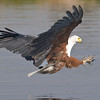 An Africa Fish Eagle swoops down to catch a fish on the Chobe river, Botswana