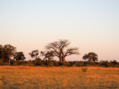 Baobab in the Okavango Delta in Botswana