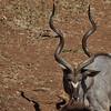 Mature Male Kudu, taken on the banks of the Chobe River, Botswana