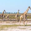 Giraffe (Angolan subspecies)