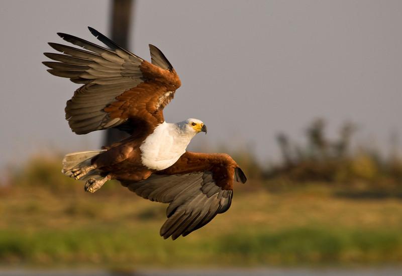 African Fish Eagle - Chobe, Botswana