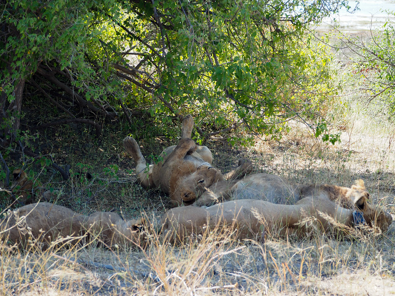 Lions in Chobe National Park