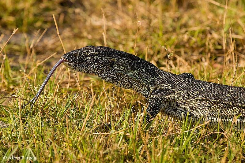Monitor Lizard, Chobe Botswana