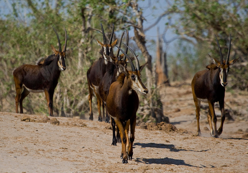 Small herd of Rare Sable Antelope - Chobe, Botswana. These animals used to come down to the river in groups of 60 to 100 animals.