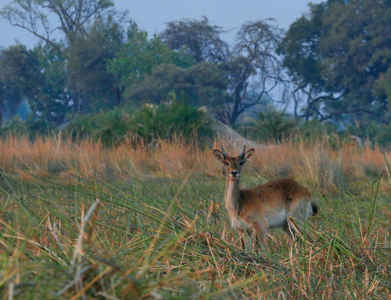 A Red Lechwe peers at us intently as we pass on by in our riverboat. If you've never been to the Delta, it is a very challenging place to photograph most thiings. The waterways are lined with incredibly tall reeds, some 10 feet or more tall. The banks, as you can see in this image are also obscured by tall grasses that grow in proximity to the water, making a clear shot of most any animal near impossible.