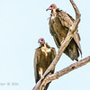 Hooded Vultures (left), White-backed Vulture (right)