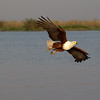 African Fish Eagle, Chobe botswana