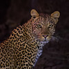 A leopard (panthera pardus) looks curiously toward the camera during a night photo shoot near Mashatu in the Northern Tuli Bloc