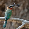 African Bee Eater with a Tau Emerald Dragonfly