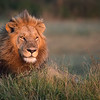 A male lion (panthera leo) does an early morning scan of the surrounding plains