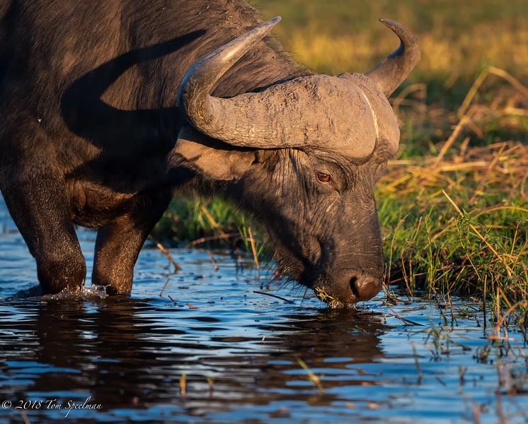 Cape Buffalo Grazes On Aquatic Plants In The Chobe River