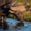 Cape Buffalo Grazes On Aquatic Plants In The Chobe River
