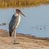 Maribou Stork:  Chobe Riverfront, Chobe National Park, Botswana