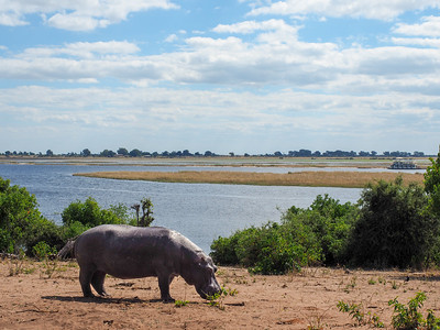 Hippo in Chobe National Park in Botswana