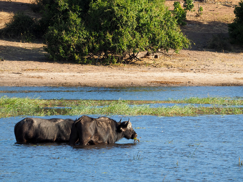 Cape buffalo in Chobe National Park in Botswana