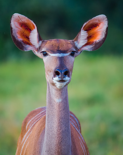 Greater Kudu Cow Shows Interest In The Camera