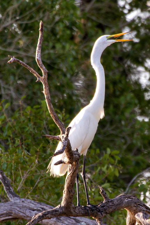 a white bird called a Great Egret standing tall with yellow beak open