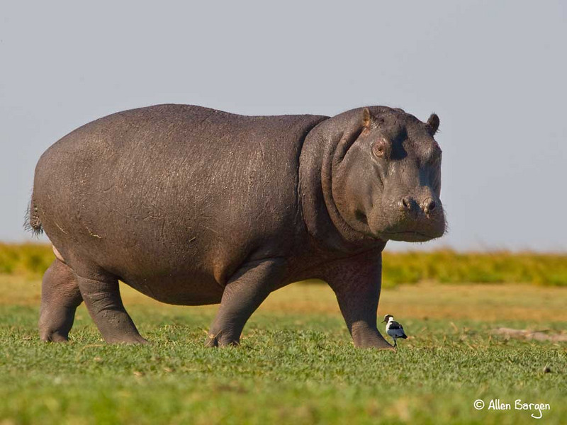 Male Hippo grazing on grass, Chobe River, Botswana