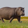 Male Hippo grazing on grass, Chobe River, Botswana