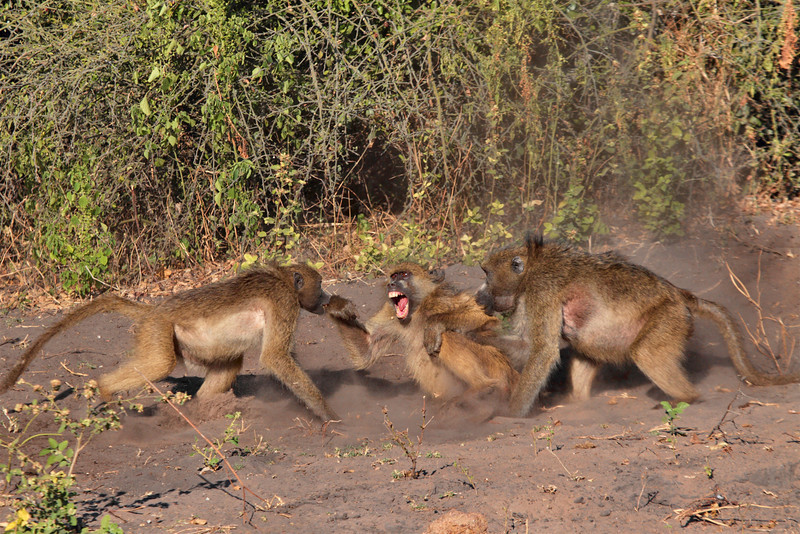 Baboon chastising one of their troop for some transgression. Taken from the Chobe River, Botswana near Kasane.