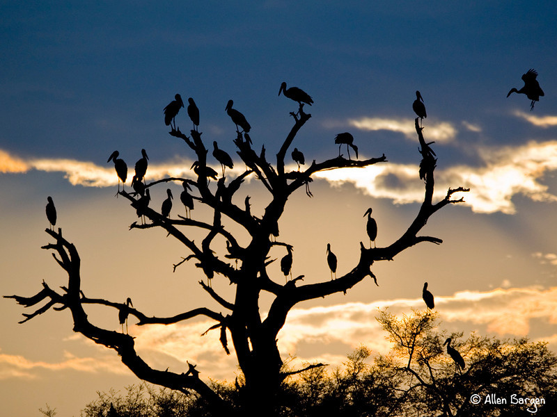 Open Billed Storks roosting for the night at the edge of the Chobe river, Botswana, Africa