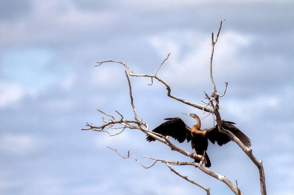 African darter bird in front of partly cloudy sky in Botswana