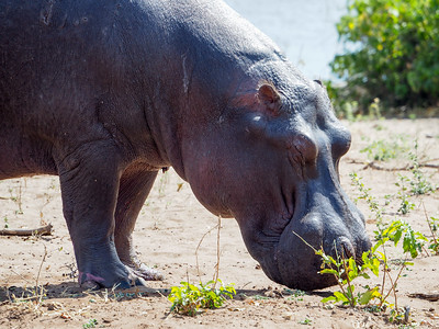 Hippo at Chobe National Park in Botswana