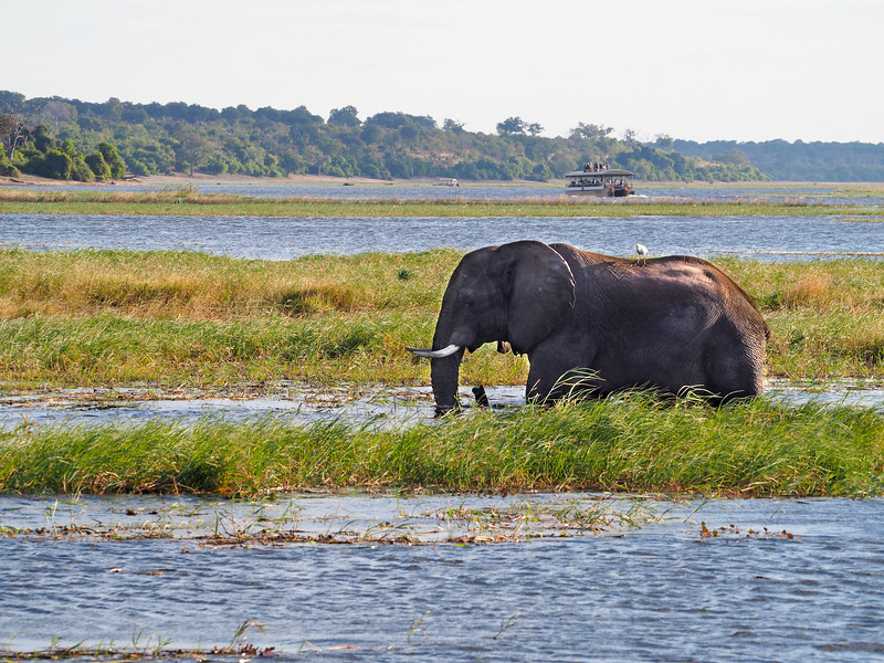 Elephant in the Chobe River in Botswana