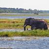 Elephant in the Chobe River in Botswana