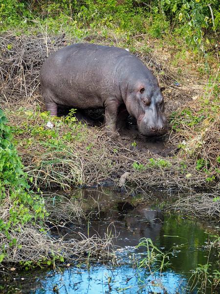 Hippo in Chobe National Park in Botswana