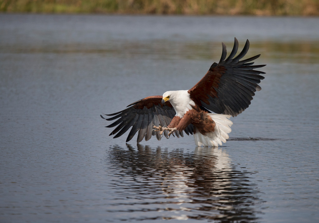 African Fish Eagle about to grab a fish, talons extended