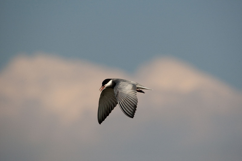 Pied Kingfisher hovers over the Chobe River.